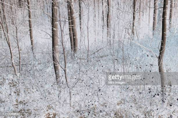 aspen trees in a grove in winter - cascade range stock pictures, royalty-free photos & images