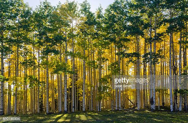 aspen trees in autumn - national forest stock pictures, royalty-free photos & images