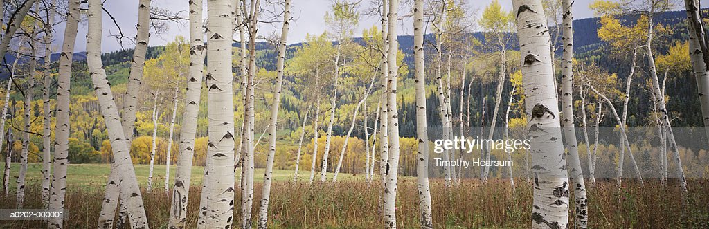 Aspen Trees in Autumn : Stock Photo