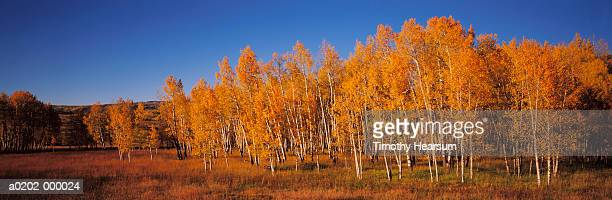 aspen trees in autumn - timothy hearsum stockfoto's en -beelden
