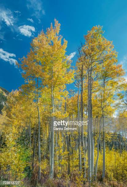 aspen trees in autumn, white river national forest, colorado, usa - white river national forest stock photos and pictures