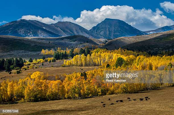Aspen, (Populus tremuloides), trees in fall color