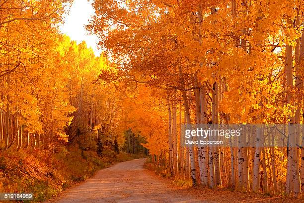 aspen trees in fall colors in colorado - steamboat springs colorado stock photos and pictures