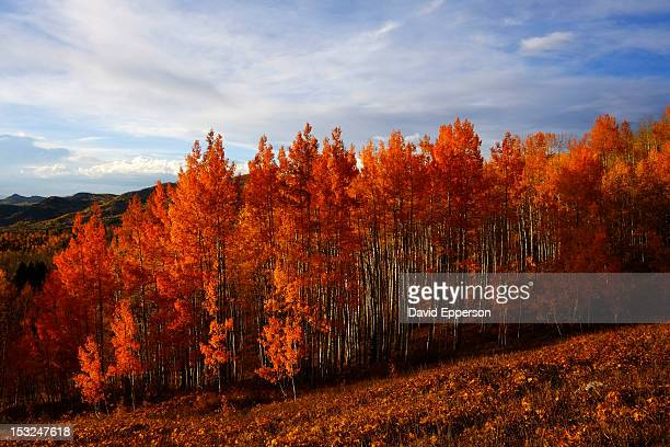 aspen trees in fall colors - steamboat springs colorado stock photos and pictures