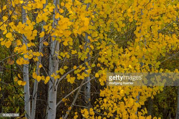 Aspen trees in the fall along the Mountain Home Road in the Cascade Mountains above Leavenworth in eastern Washington State USA