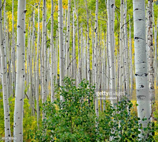 Aspen Trees in the Rocky Mountains of Colorado