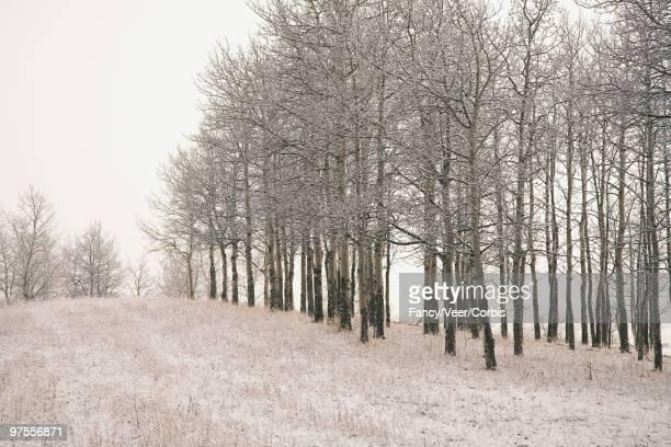 Aspen trees in winter landscape