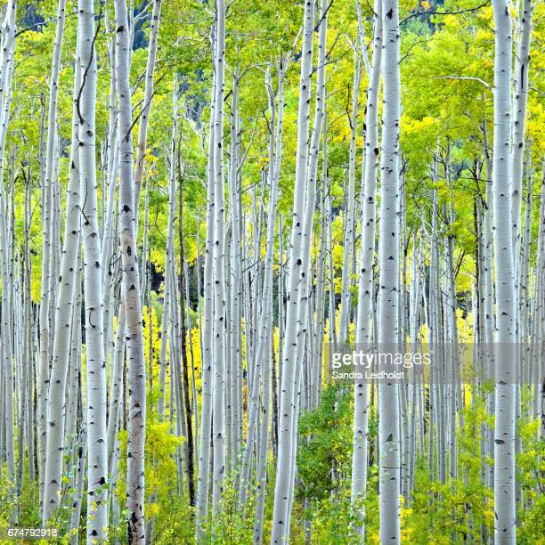 Aspen Trees near Aspen, in the Colorado Rocky Mountains