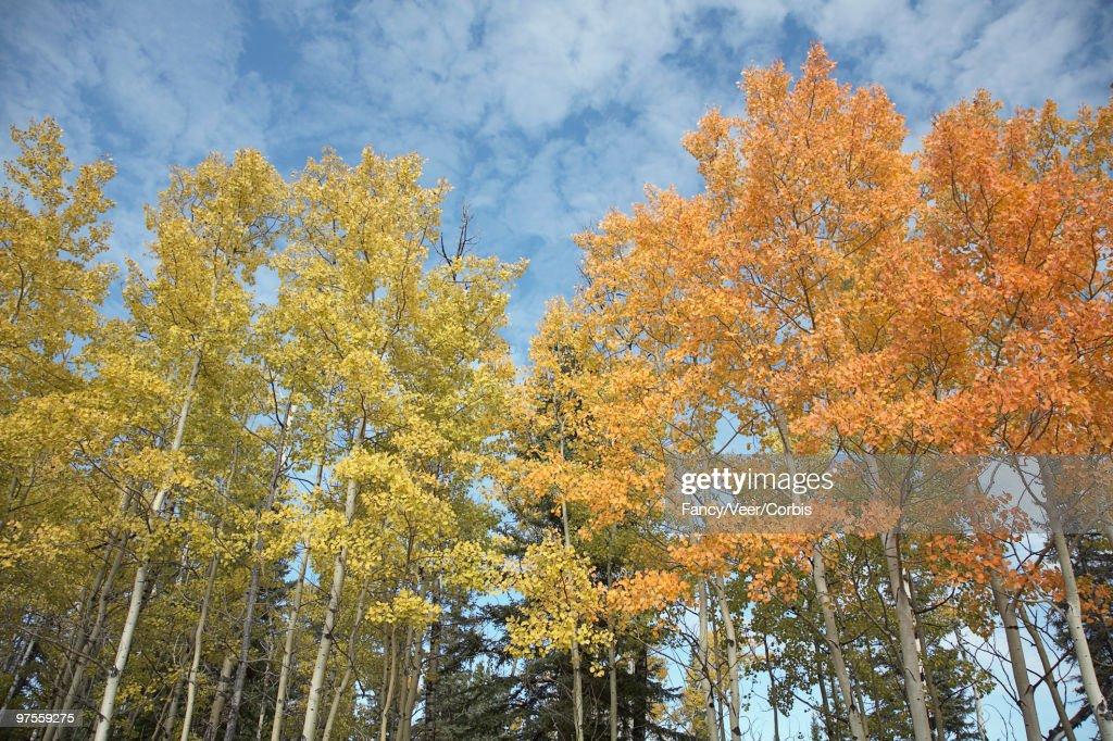 Aspen trees on fall day : Stock Photo