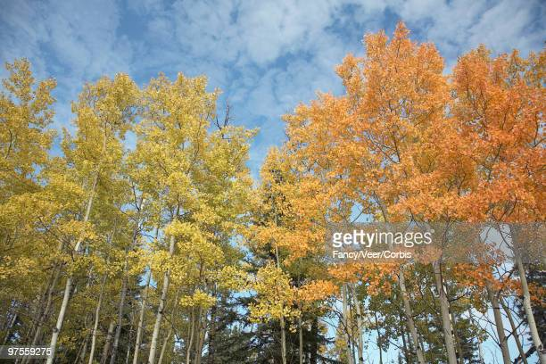 aspen trees on fall day - climat stock pictures, royalty-free photos & images