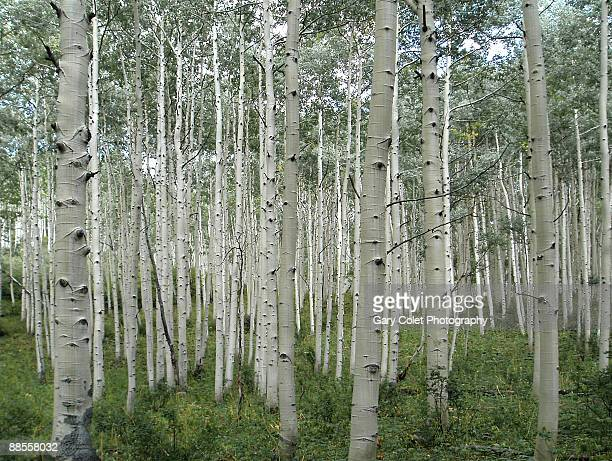 aspen trees - gary colet stock pictures, royalty-free photos & images