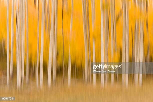 aspen trees (populus tremuloides) - nature stockfoto's en -beelden