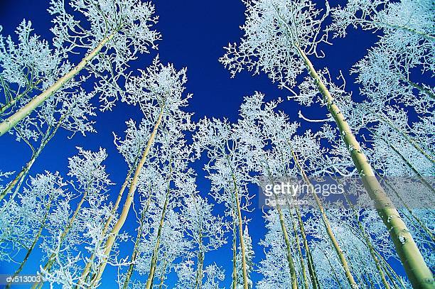 Aspen Trees, Steamboat, Colorado