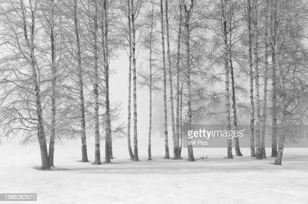 Aspen trees with fog and winter snow Crater Lake Highway near Fort Klamath Oregon