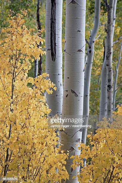 aspen trunks behind yellow maple leaves in the fall, white river national forest, colorado, united states of america, north america - white river national forest stock photos and pictures