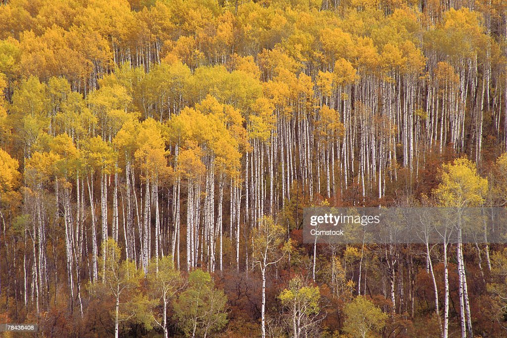 Aspens and evergreen trees in autumn : Stockfoto