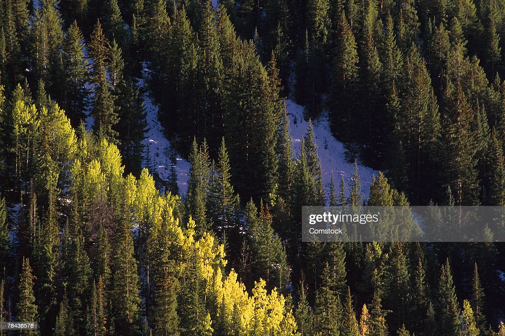 Aspens and evergreens in autumn : Stockfoto