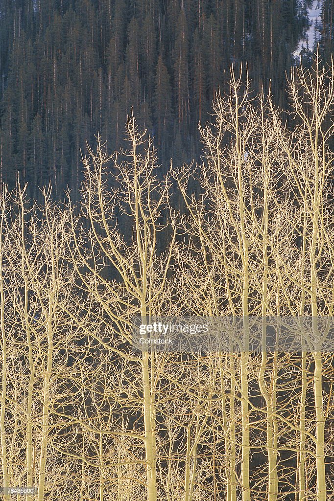 Aspens and evergreens in winter on mountainside : Stockfoto