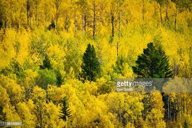 aspens and pines, bridger national forest - don smith stockfoto's en -beelden