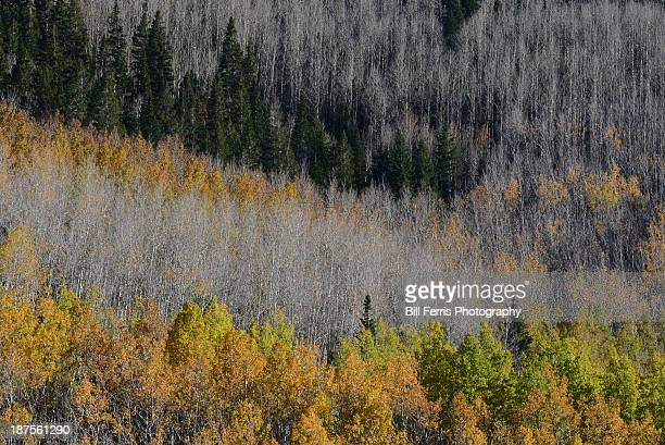 Aspens and pines