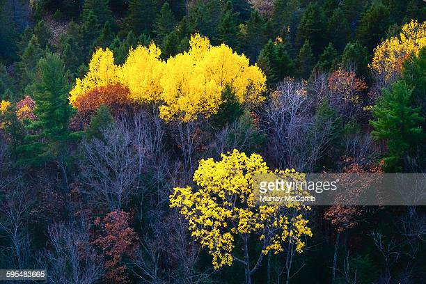 aspens in color on the canadian shield - murray mccomb stock pictures, royalty-free photos & images
