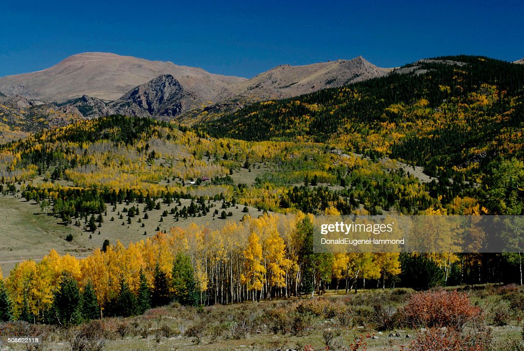 Aspens Near Victor, Colorado : Stock Photo