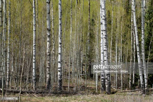 aspens - sergei stock pictures, royalty-free photos & images