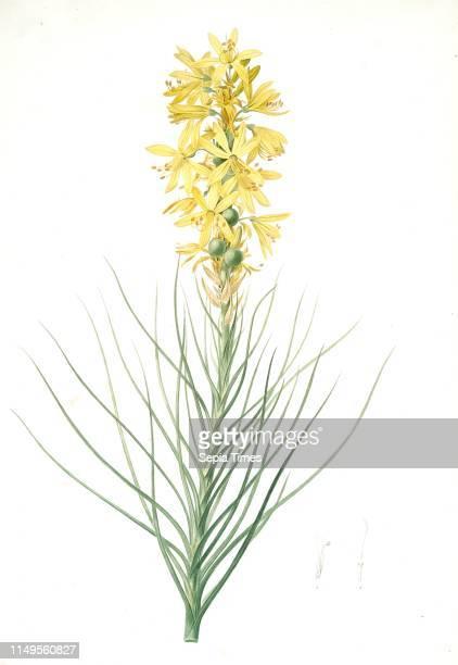 Asphodelus luteus Asphodeline lutea King's spear Yellow asphodel Jacob's rod Redoute Pierre Joseph 17591840 les liliacees 1802 1816