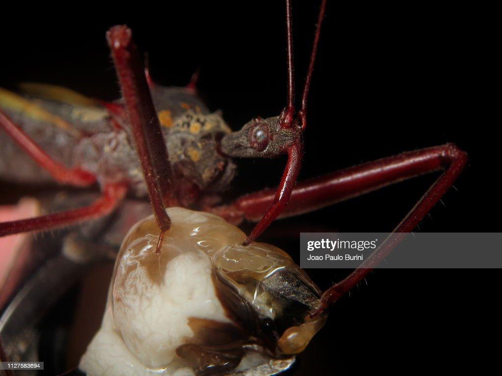 Assassin bug feeding : Stock Photo