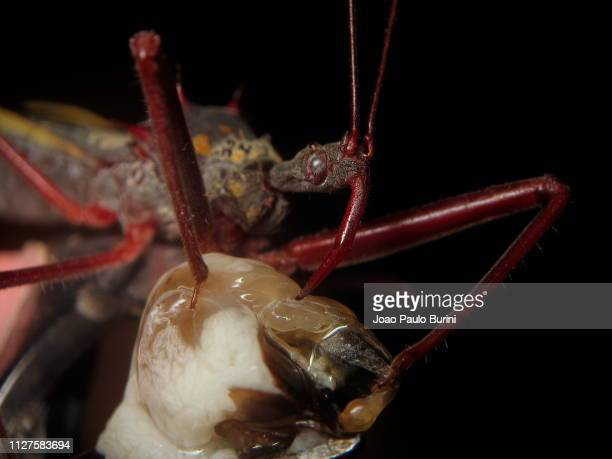 assassin bug feeding - kissing bug stock photos and pictures