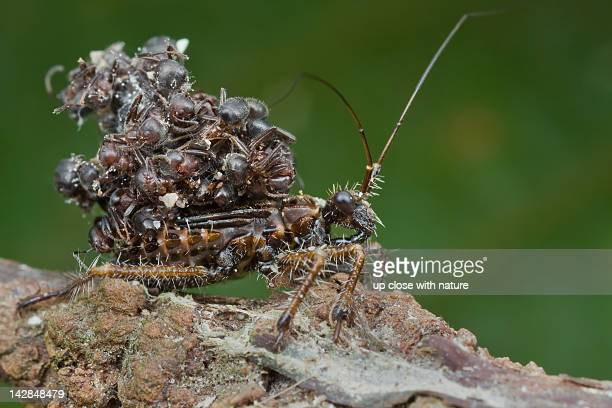 assassin bug nymph (acanthaspis petax) - kissing bug stock photos and pictures