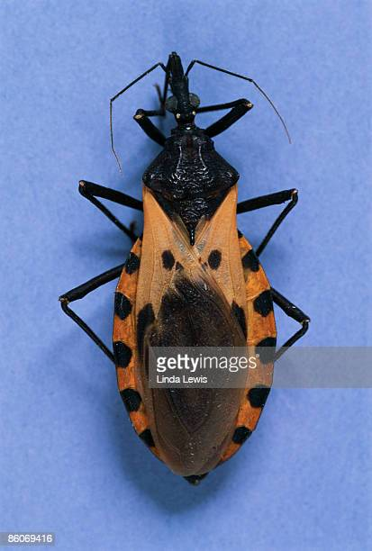 assassin bug - kissing bug stock photos and pictures