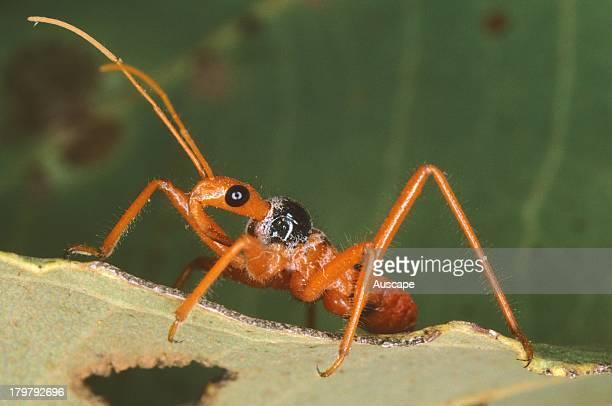 Assassin bug Pristhesanchus species on leaf Southwest of Port Hedland Western Australia
