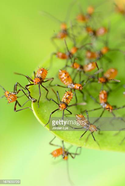 assassin bugs - kissing bug stock photos and pictures