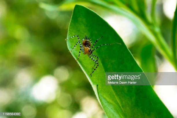 assassin nymph - assassin bug stock pictures, royalty-free photos & images