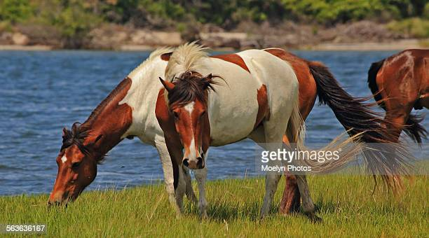 Assateague Horses-Grazing and Looking