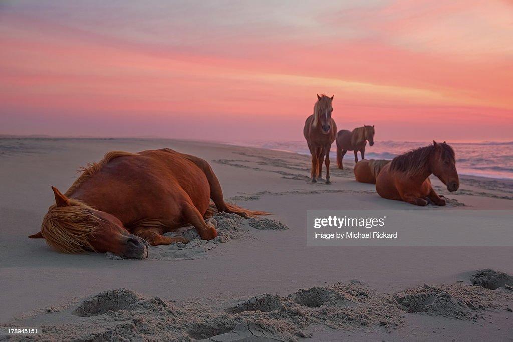Assateague Island Wild Horses : Stock Photo