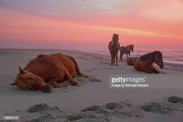 assateague island wild horses - maryland staat stockfoto's en -beelden