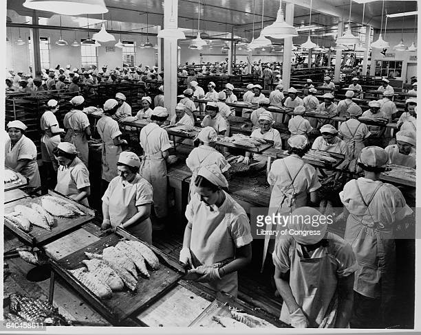 Assembly line workers in a fish factory clean fillet and pack albacore tune for Bumble Bee and Clover Leaf