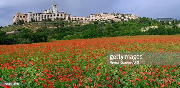 Assisi Poppies Panorama