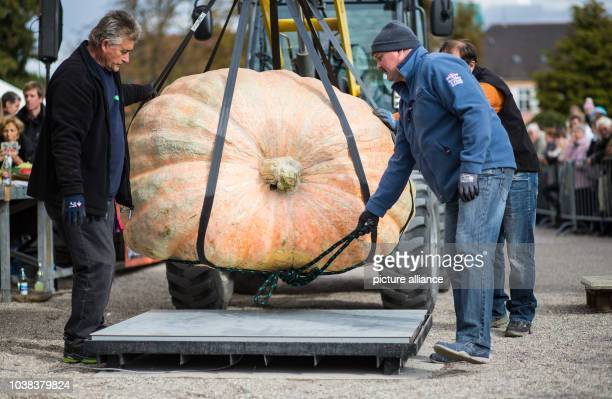 Assistants use a pulley to position a giant pumpkin on scales at the European Championship Pumpkin WeighOff a competition held in Ludwigsburg Germany...