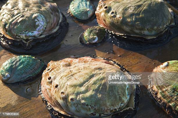 Assorted age abalone Cultured Abalone Goleta California