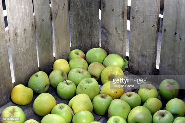 Assortment of fresh picked apples in a crate