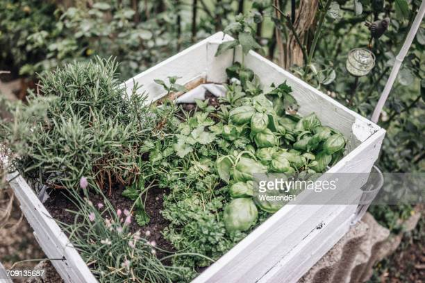 Assortment of herbs in a box in garden