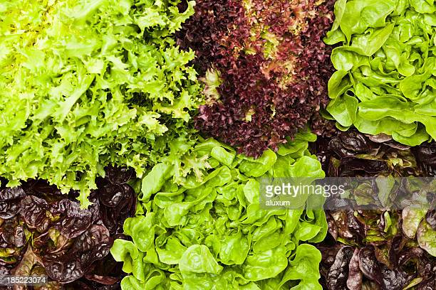 assortment of lettuces - leaf lettuce stock pictures, royalty-free photos & images