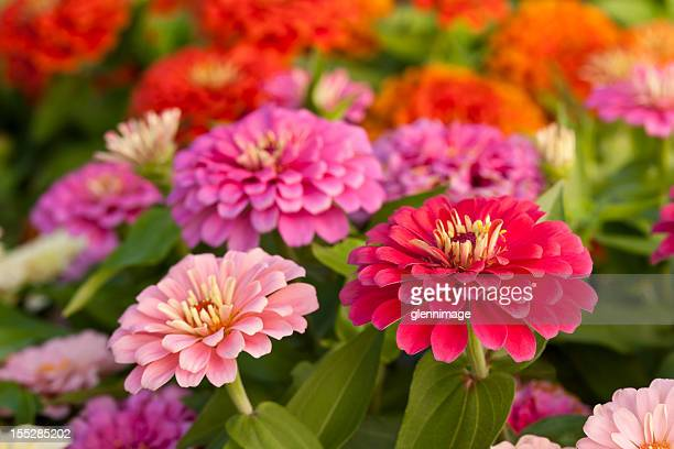 assortment of pink-shaded zinnias in a flower patch - flowerbed stock pictures, royalty-free photos & images