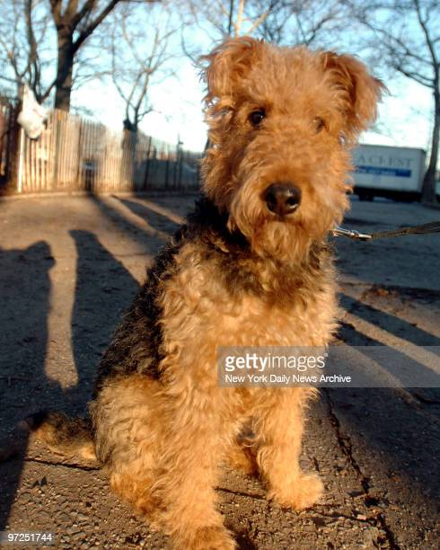 Asta an Airedale terrier at McCarren Park in Williamsburg Brooklyn