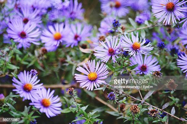 Aster Blooming In Park