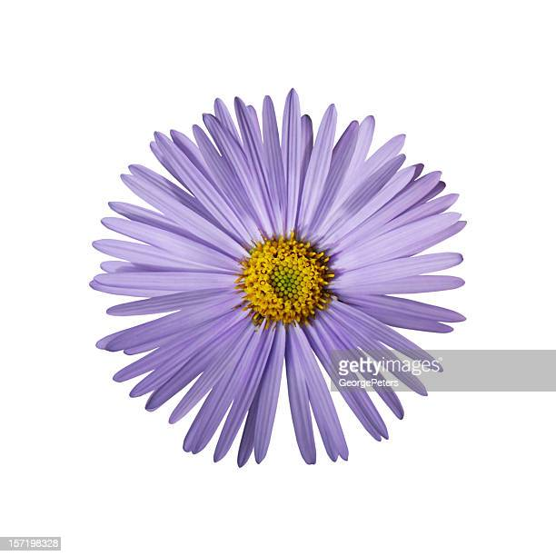Aster Outlined on White