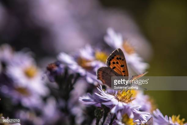aster wonderland - susanne ludwig stock pictures, royalty-free photos & images